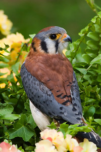 American Kestrel in the Flowers