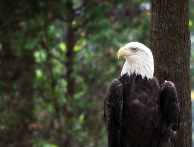 Bald Eagle StandingPerfect for adding text to the left!