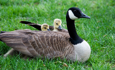 Mother and Baby Geese