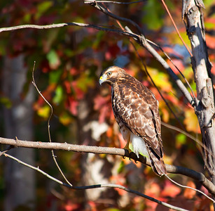 Close up of a young red-tailed hawk hunting in our woods beside the house.
