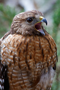 Red-Shouldered Hawk Squawking - Also known as a Red-Bellied Hawk