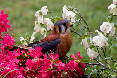 American Kestrel in the pink azaleas