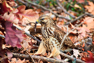 This red tailed hawk has caught a lizard (anole).