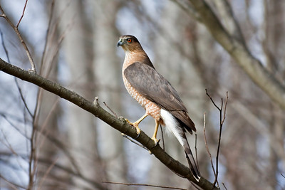 Cooper's HawkCaught this beauty in our front yard.