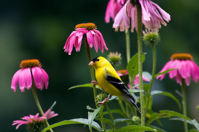 Gold Finch in the Cone Flowers