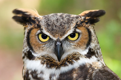 Great Horned Owl - Close Up Head Shot