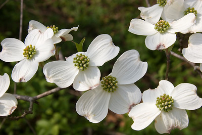 White Dogwood Blooms - North Carolina State Flower