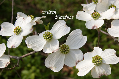 Dogwood Blooms in North Carolina
