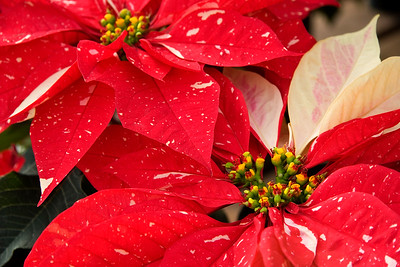 Shimmer Surprise - Red with White Speckles PoinsettiasGreat Christmas Background!  or perfect for a Christmas card.