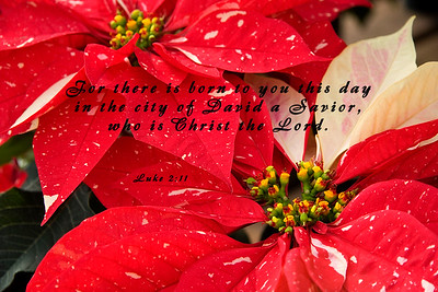 Shimmer Surprise - Red with White Speckles Poinsettias with Christmas Scripture