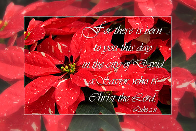 Shimmer Surprise Red & White speckled poinsettiasLuke 2:11
