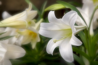 Easter lilies with a soft focus effect