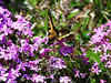 Butterflies : Swallowtails....  some are feeding on the salt nutrients from rocks and gravel