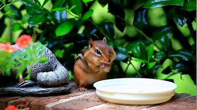 Chipmunk stuffing his face with Bluebird pellets!