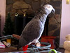 Videos of Oliver, my African Grey : African Grey, Oliver, talking videos.  Oliver was 10 years old August 1, 2012!  Please sign his guestbook.  Thanks and enjoy!!  Use the icons above to share with others!  Visit my Parrots Photo Gallery